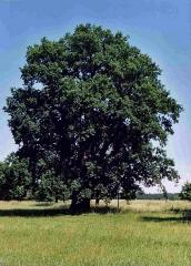 dub v Turovci